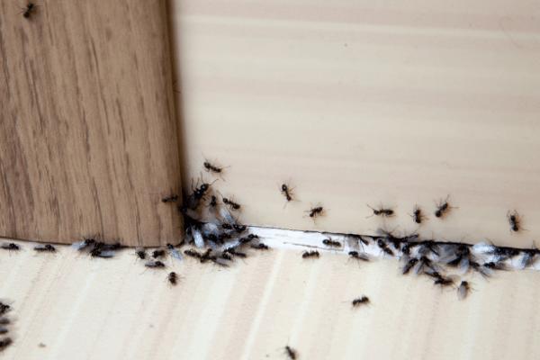 Ant Treatment Ipswich